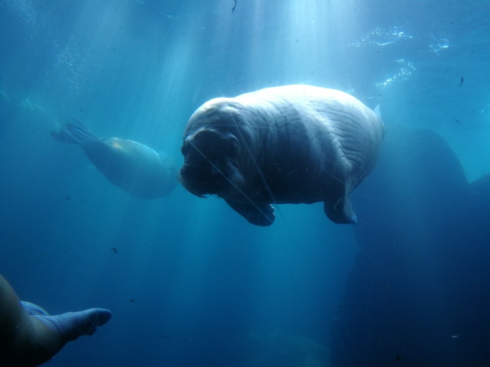 Walross unter Wasser