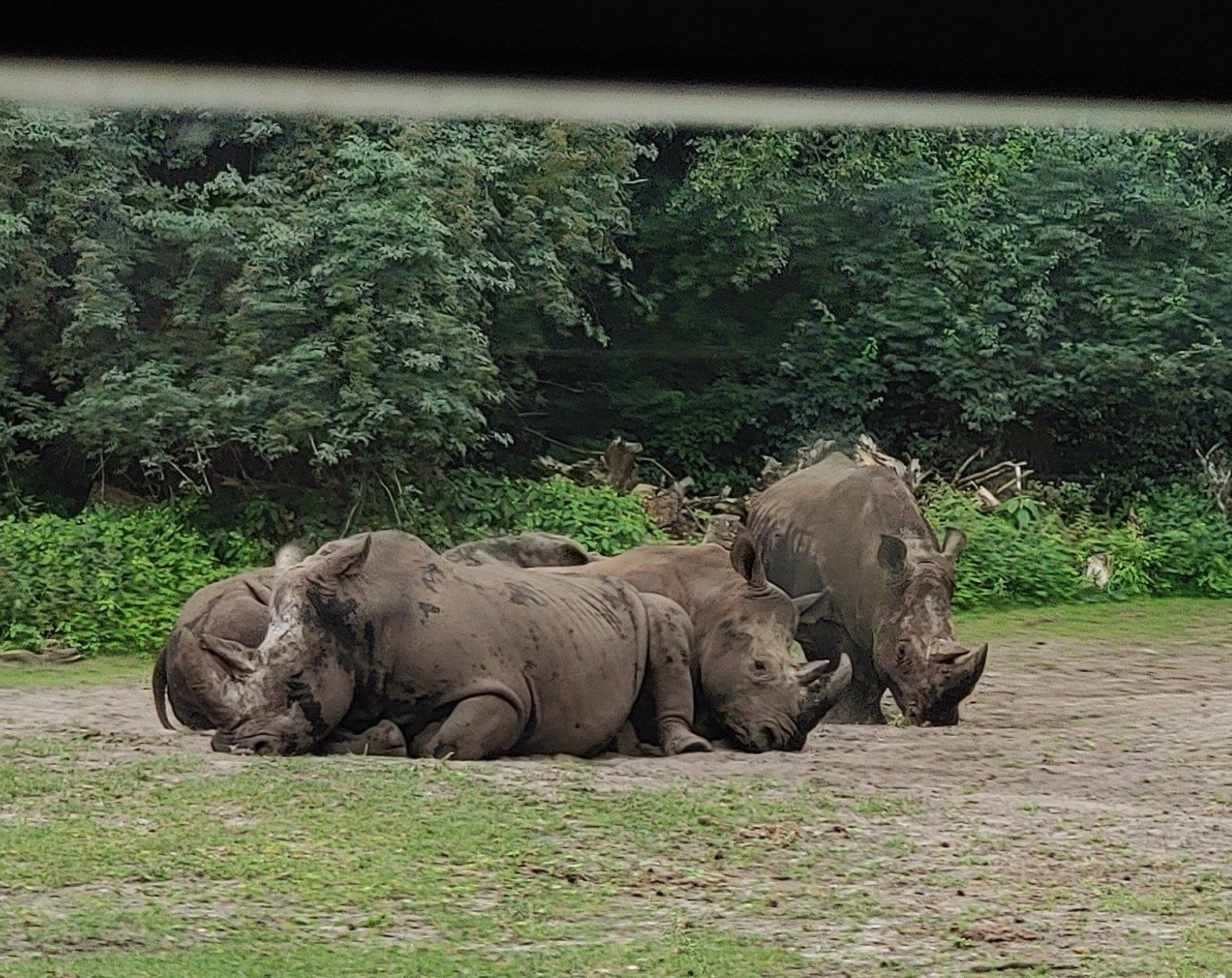 Nashörner liegen auf Gras, vom Bus aus fotografiert.